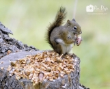 Banff squirrel_pamdoylephoto ww
