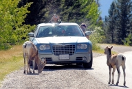 Bighorn sheep tourists_pamdoyle