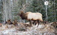 Bull elk with harem in snow_pamdoyle ww