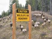 Elk Herd Canmore Nov3_pamdoyle ww