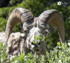 Ram in bush_pamdoyle ww