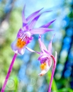 Calypso orchids artsy Pam Doyle Photo
