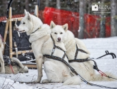 Sled Dog rests on dog_pamdoyle ww