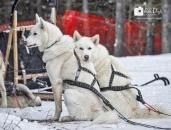 Sled Dog rests on dog_pamdoyle ww