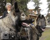 Shiloh Shepherd dogs photo