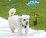 Dog wed ring bearer Canmore_pamdoyle ww
