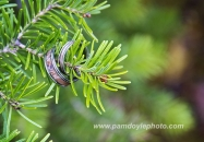 Wed Rings pine tree Lake Louise_pamdoyle www