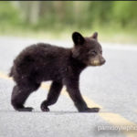 Baby Bears in Canmore