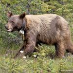 Beautiful Bear Arrives at Banff Wedding